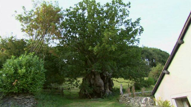 The Pontfadog Oak