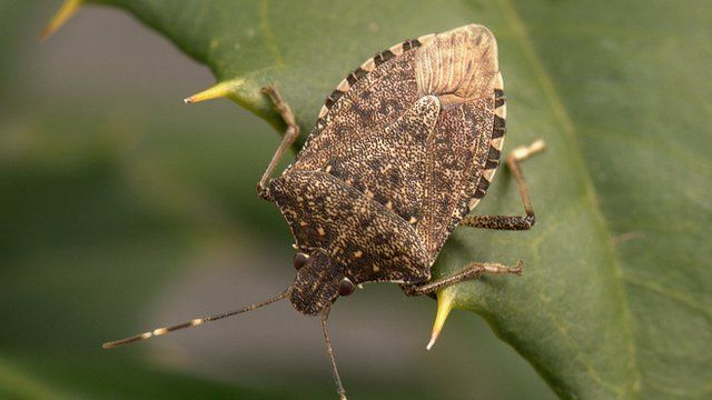 A stink bug from Asia
