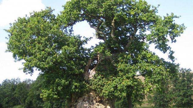 Undated Woodland Trust handout photo of the Wyndham Oak, Dorset