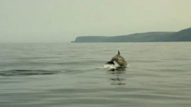 Dolphin in Cardigan Bay