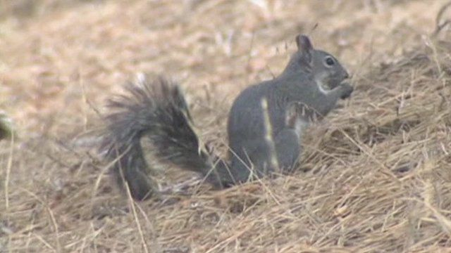 A squirrel carrying bacterial infection has been found in the Angeles National Forest, California