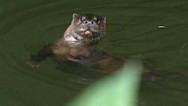 Otter in Thetford