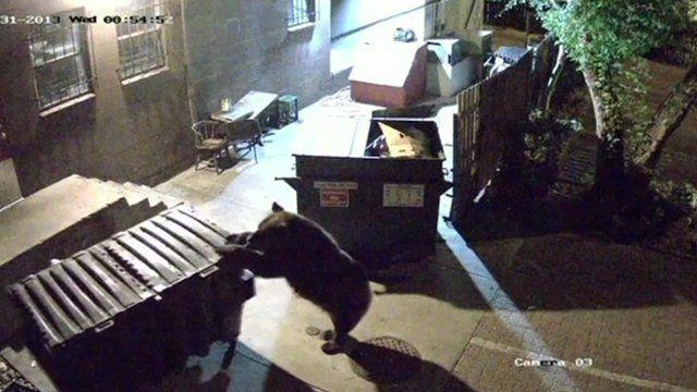 Bear pulls on wheelie bin