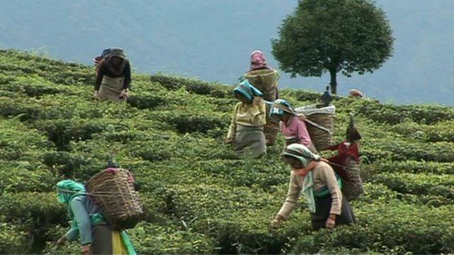 Workers picking tea in fields