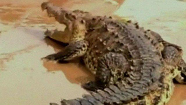 Crocodile on Acapulco street