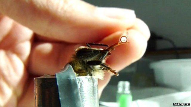 Bee in a proboscis extension reflex test (c) Daren Eiri