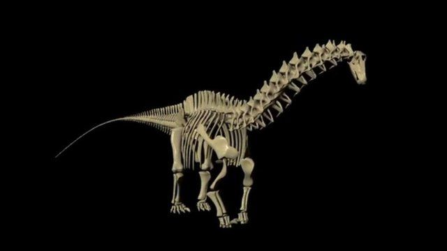 A simulation of the skeleton of the dinosaur Apatosaurus (c) Kent Stevens/ University of Oregon
