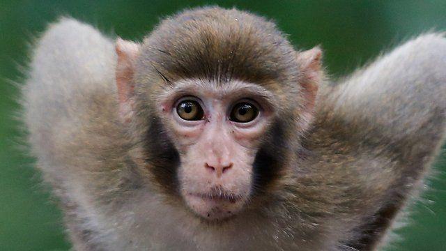 A macaque monkey