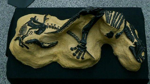 Two fossilised dinosaur skeletons