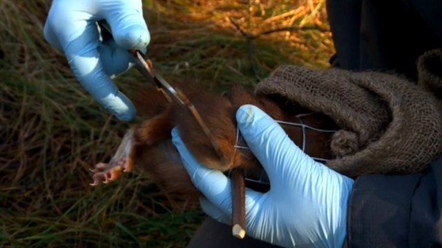 Researchers examining a red squirrel