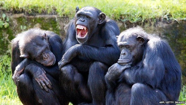 Group of chimps