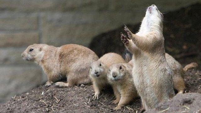 Prairie dogs (c) Darlene Stack