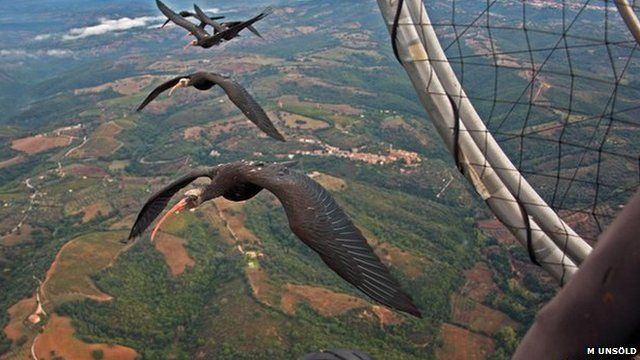 Northern bald ibises following a microlight (c) Markus Unsöld