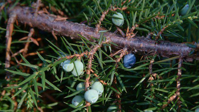 Close up of a juniper plant