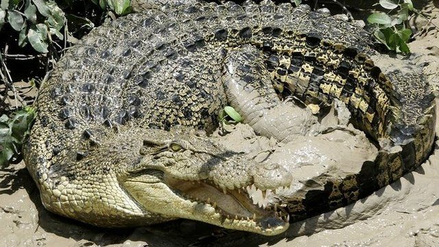 File photo: A 4.5m (13.5 ft) saltwater crocodile in Australia's Northern Territory, 15 October 2005