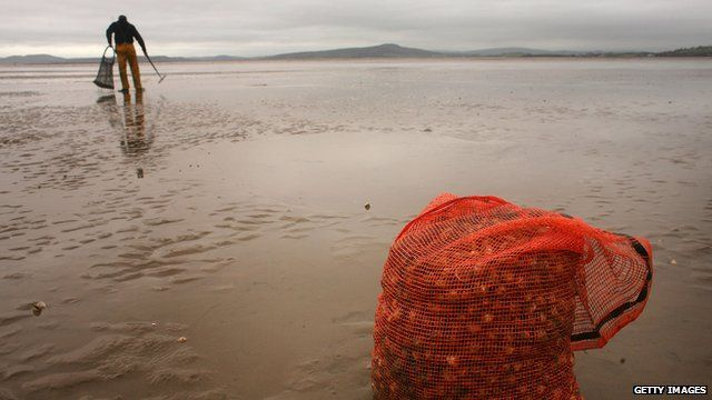 Cockle pickers search the sands of Morecambe Bay