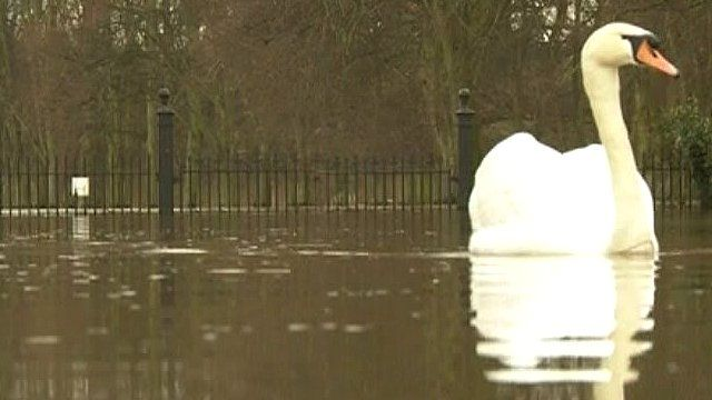 Swan on flooded road