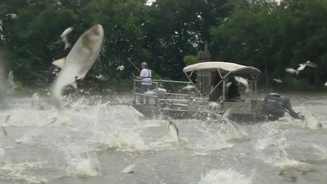 Asian carp leaping out of the water