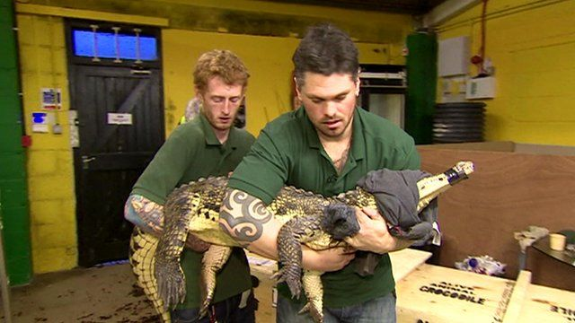 Rescued crocodile carried by staff from Crocodiles of the World
