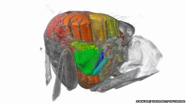 Muscles inside a blowfly (c) Simon Walker/ University of Oxford