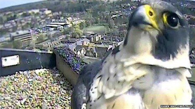 Intruder at Norwich Cathedral peregrines' nest