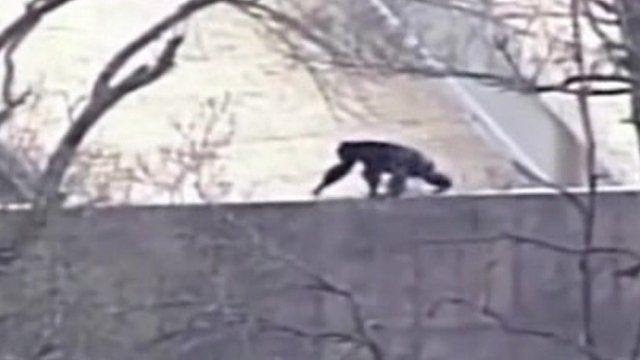 An escaped chimpanzee at Kansas City Zoo