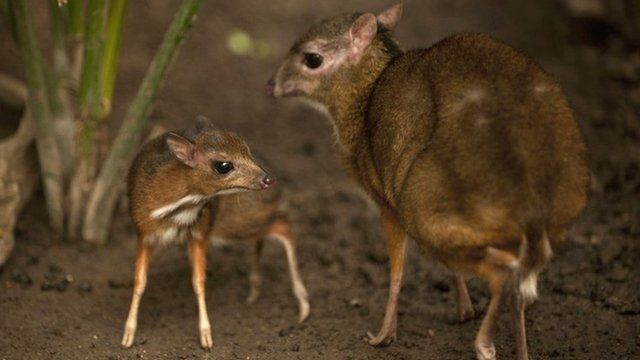Baby Java mouse-deer