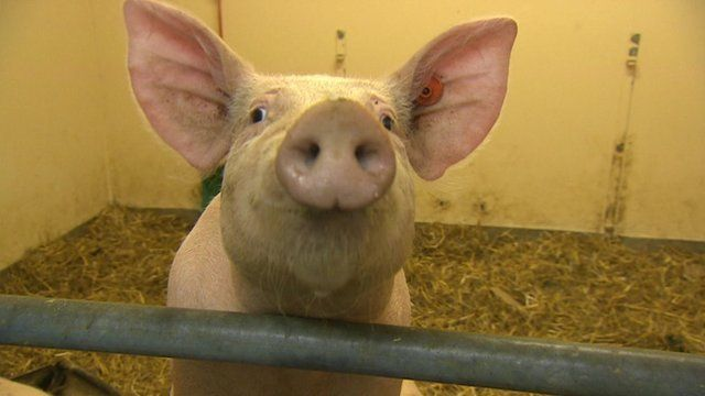 A pig at a medical research facility