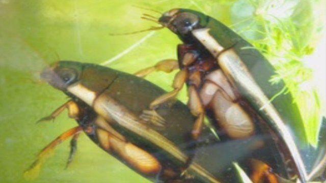 Diving beetles (C) Kai-Jung Chi