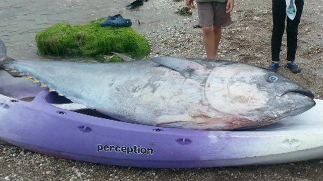 A tuna