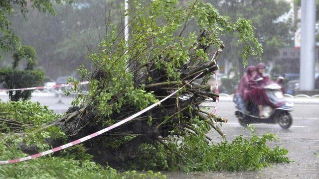 A fallen tree in Zhanjiang, Guangdong province, China