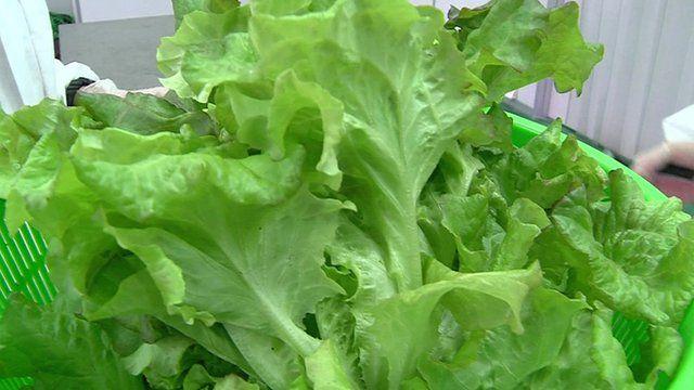 A premium lettuce grown by Panasonic