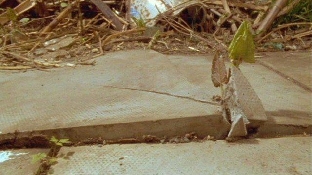 Knotweed breaking through a paving slab