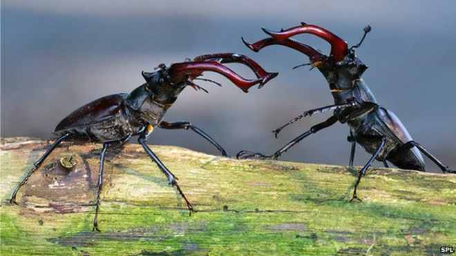 Male stag beetles (Lucanus cervus) fighting over a mate