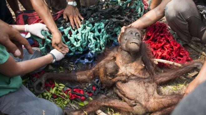 A baby orangutan, Anti (centre left), holds onto her malnourished mother while being rescued in the village of Kuala Satong in West Kalimantan province (14 October 2015)