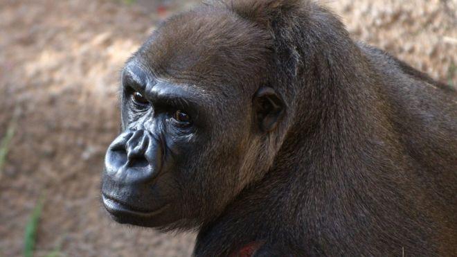 Горилла в американском зоопарке