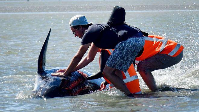 Voluntario mojando el cuerpo de una ballena
