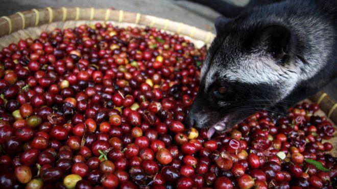 Civeta comendo grão de café