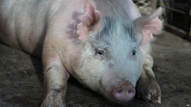 Pregnant sow