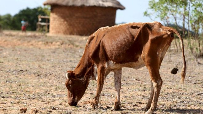 very thin cow in zimbabwe
