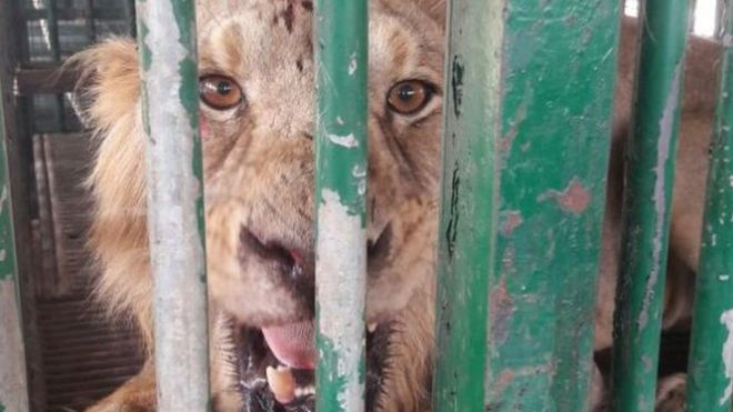 trapped lion in Gujarat
