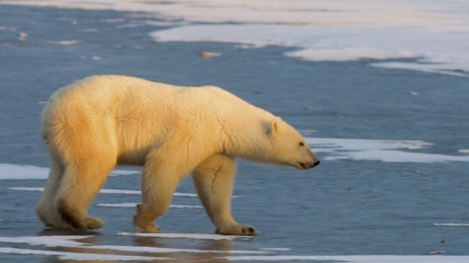 File image of a polar bear
