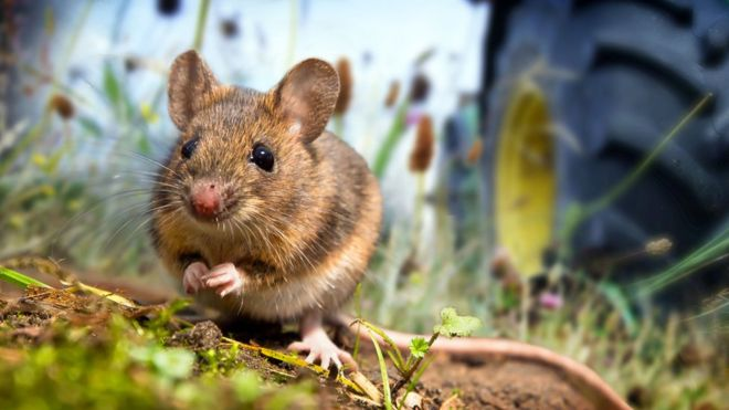 科学家发现人鼠「同居」始於农业社会前
