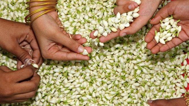 印度茉莉:无处不在的幸运花