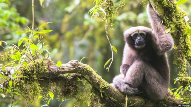 A New Primate Species, a Gibbon from South West China