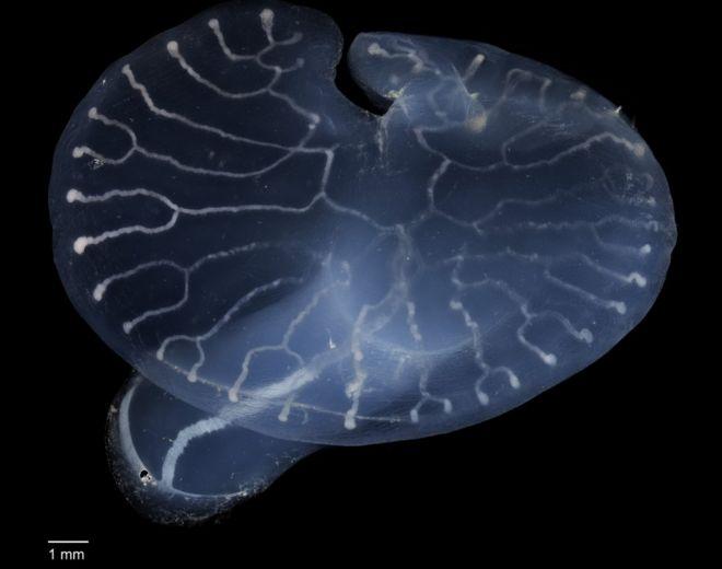 Cientistas desvendam mistério dos 'cogumelos transparentes' que vivem nas profundezas do mar