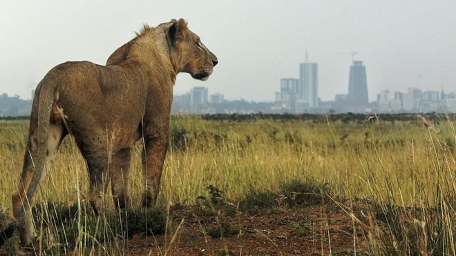 A lion looking towards Nairobi, Kenya