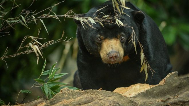 Sun bear (Image courtesy of Chester Zoo)