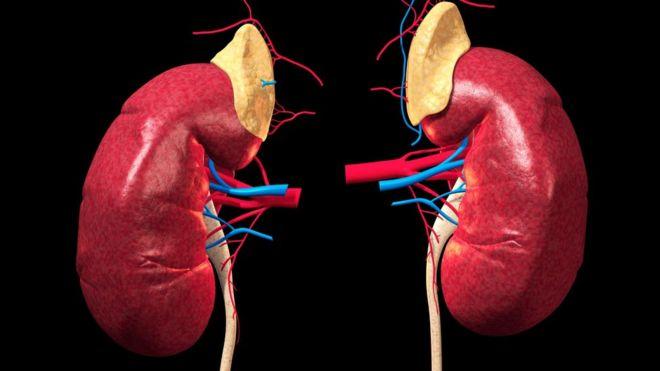 人体肾脏立体动画
