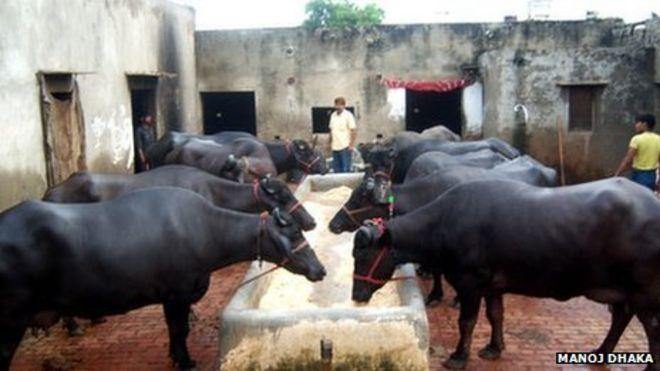 Murrah buffaloes in a dairy in Indian Milk Buffalo Farm